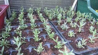 cultivare butasi lavanda
